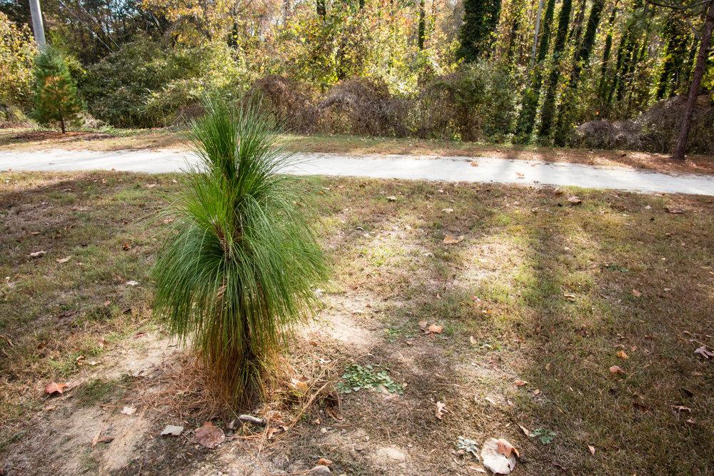 Southern Longleaf Pine, November 26, 2016