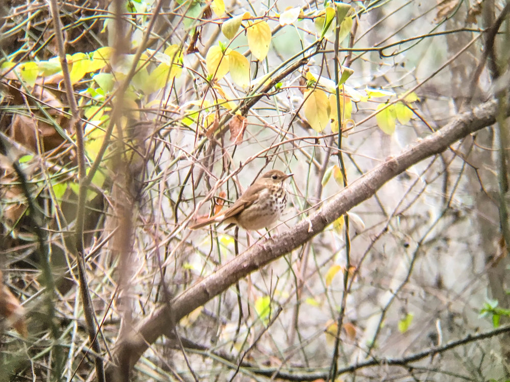 Hermit Thrush, January 3, 2017