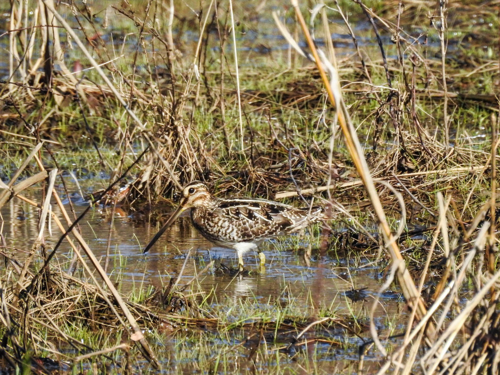 Wilson's Snipe, March 4, 2017
