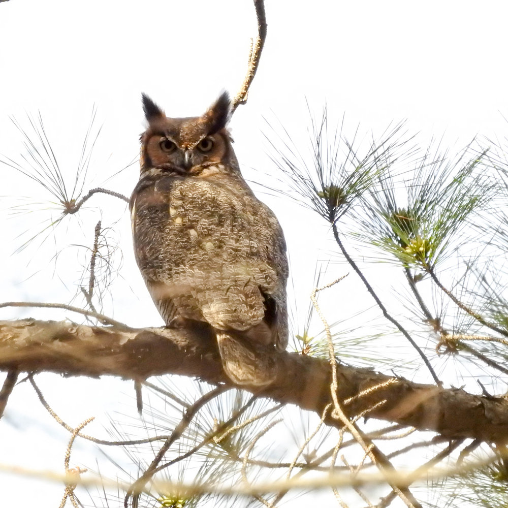 Great Horned Owl, March 11, 2017