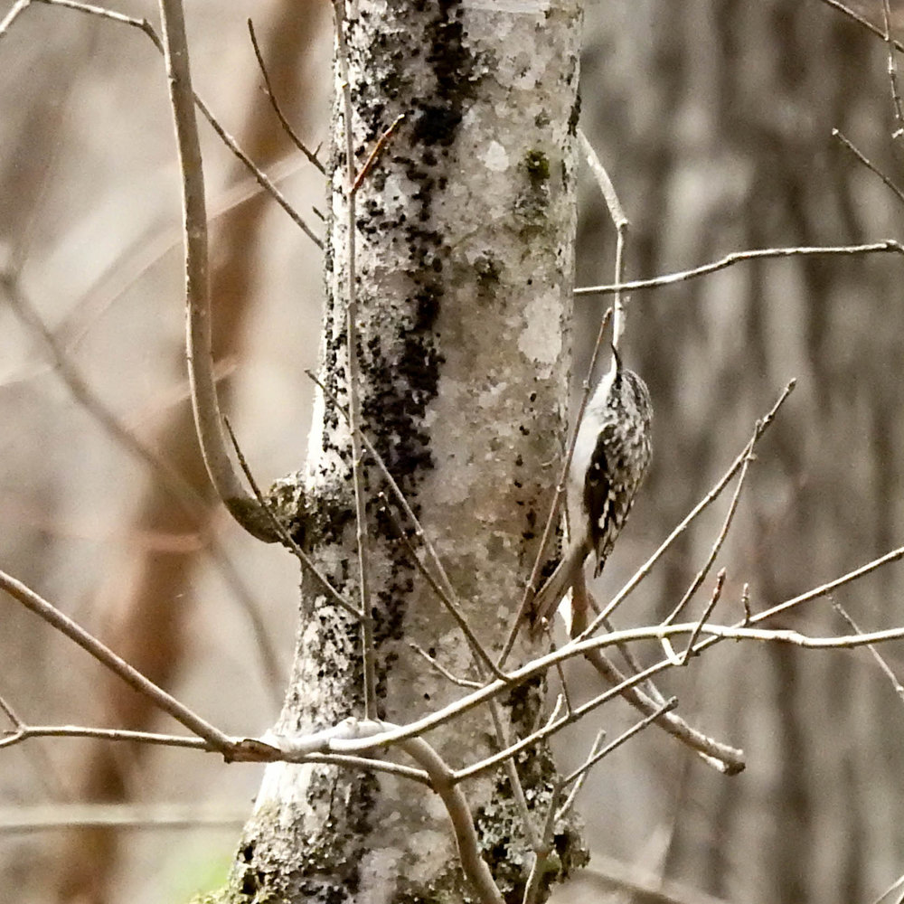 Brown Creeper, March 11, 2017