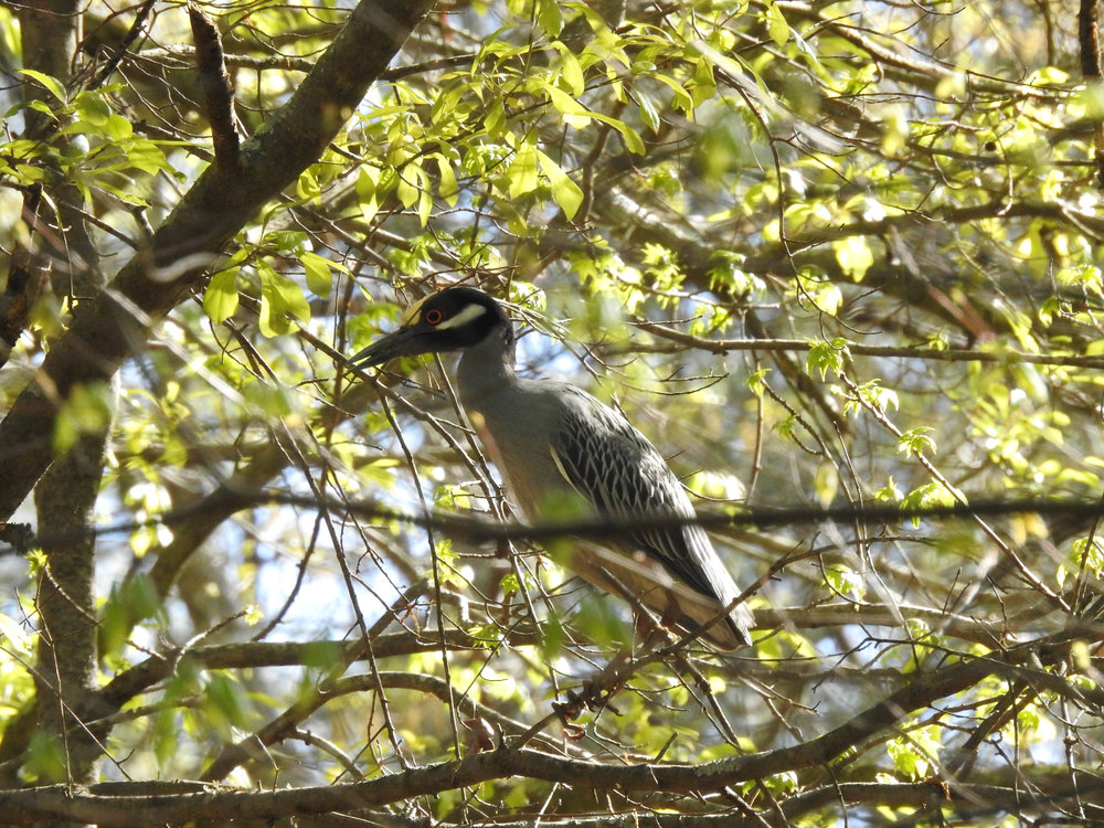 Yellow-crowned Night-Herons, April 8, 2017