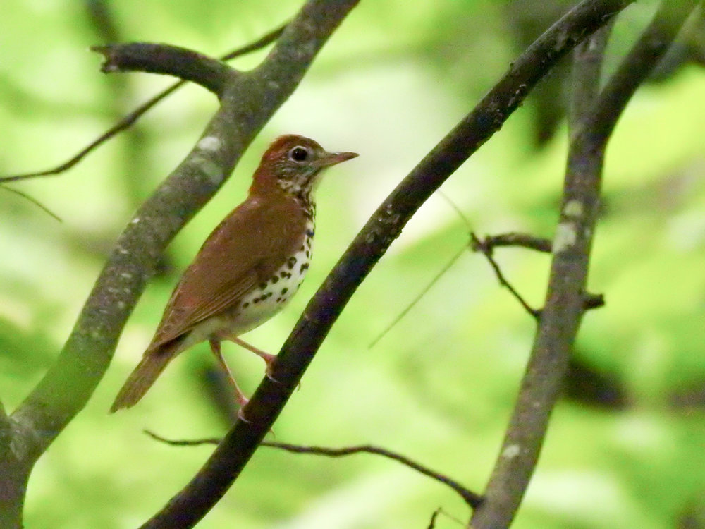 Wood Thrush, April 29, 2017