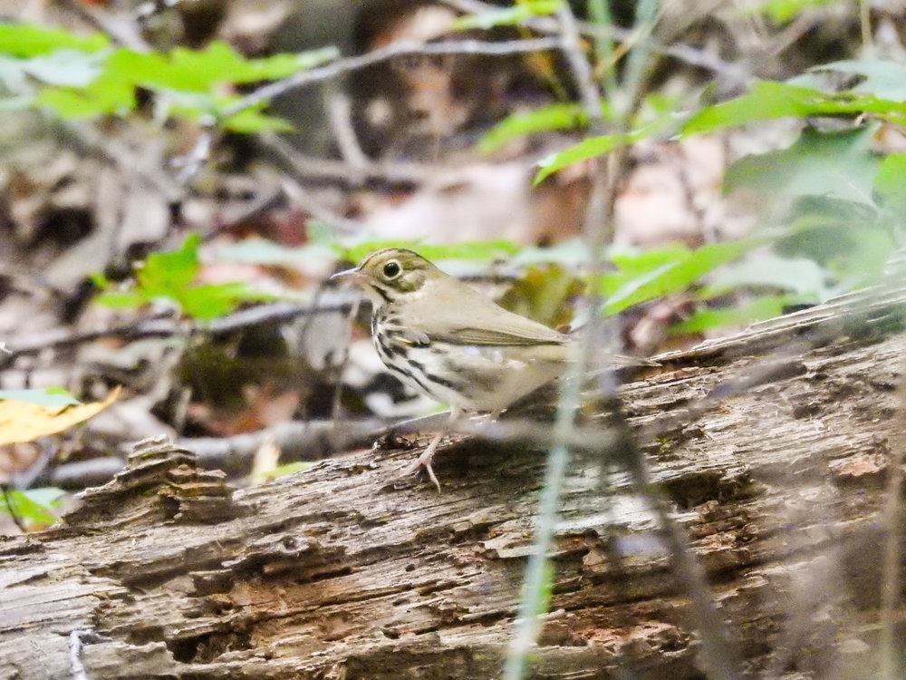 Ovenbird, September 23, 2017