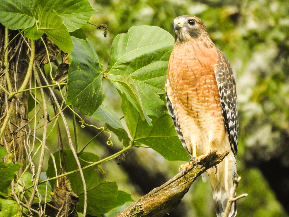 Red-shouldered Hawk, September 24, 2017