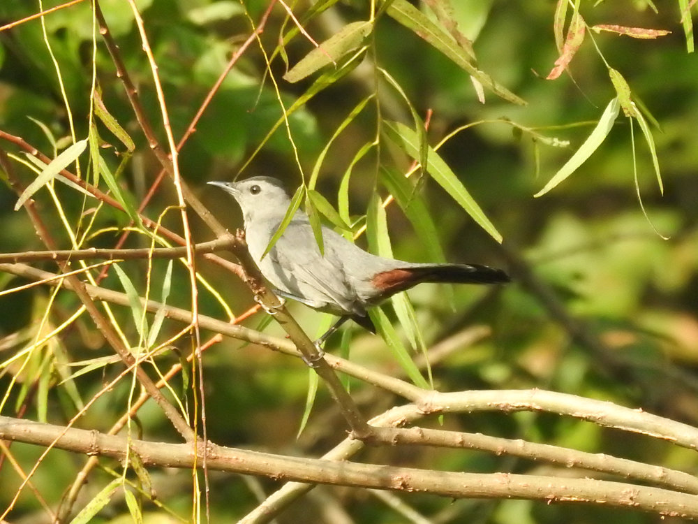 Gray Catbird, September 24, 2017