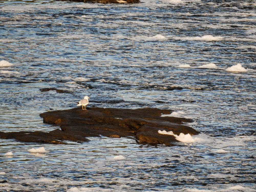 Ring-billed Gull, October 18