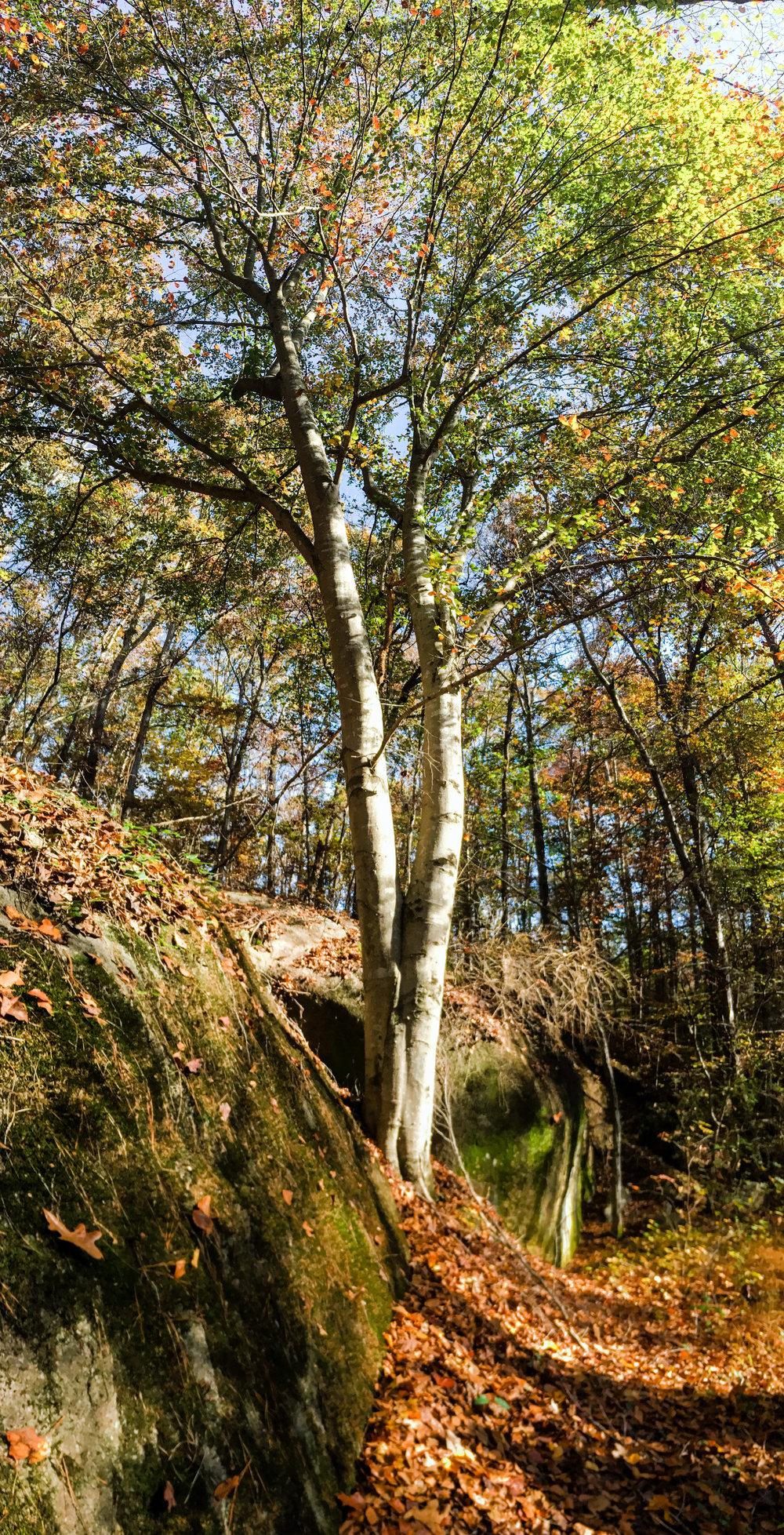Beech tree, November 11, 2017