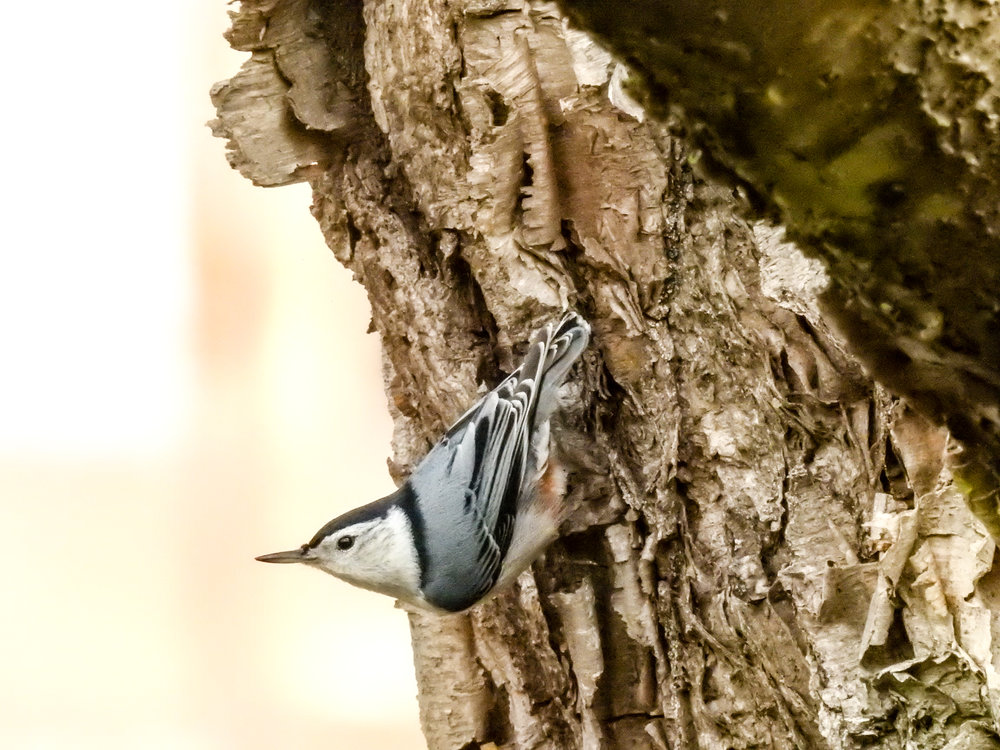 White-breasted Nuthatch, December 3, 2017