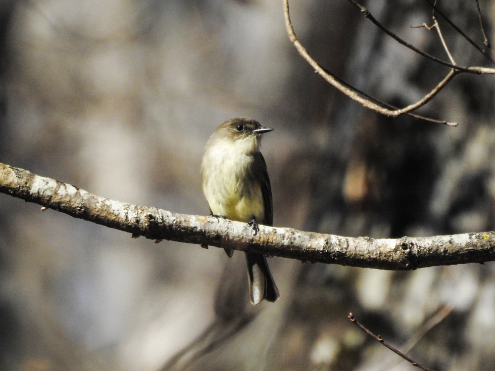 Eastern Phoebe, January 21, 2018