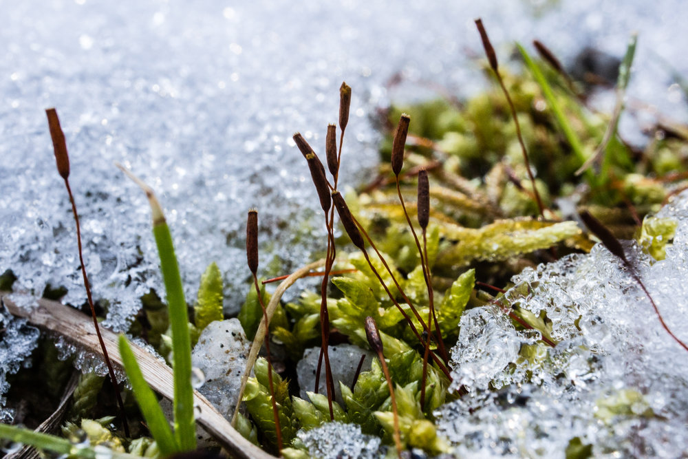 Moss in snow, January 20, 2018