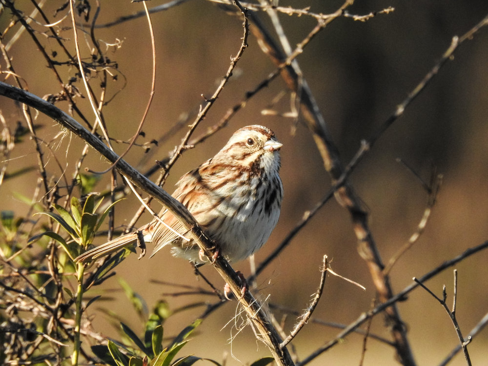 Song Sparrow, January 20, 2018
