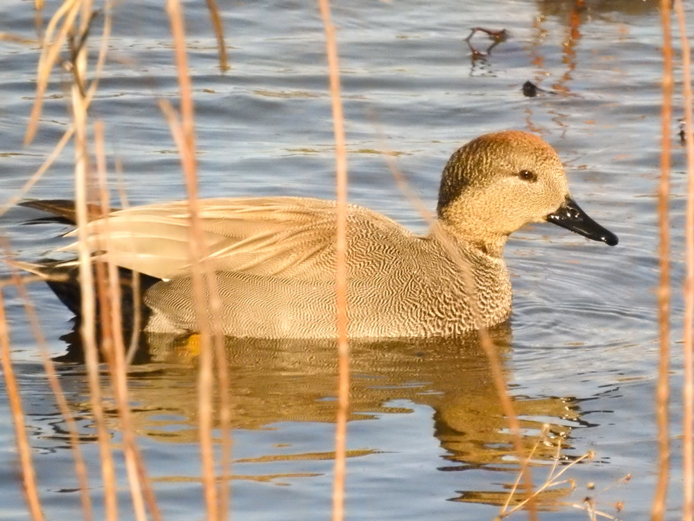 Gadwall, January 14, 2018