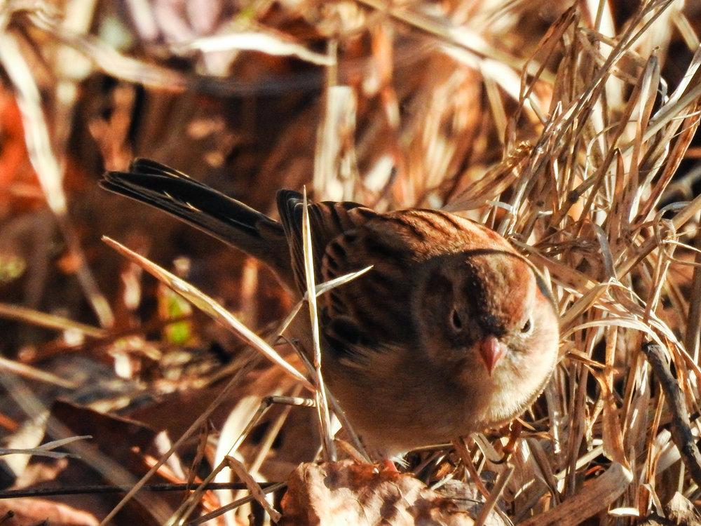 Field Sparrow, November 23, 2017
