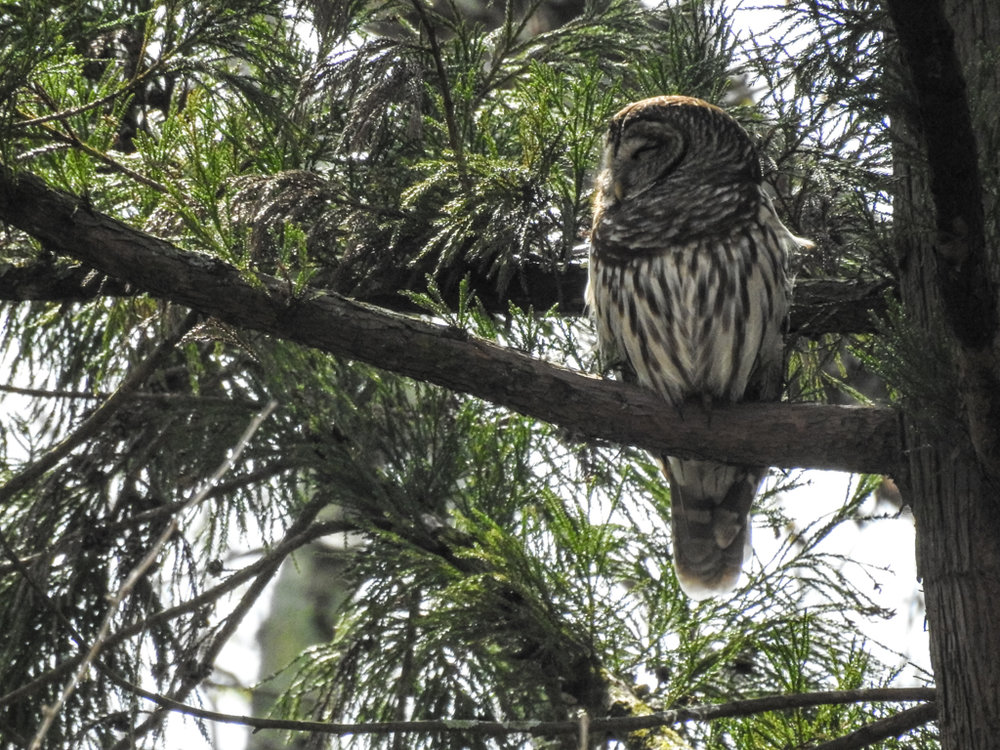 Barred Owl, March 17, 2018