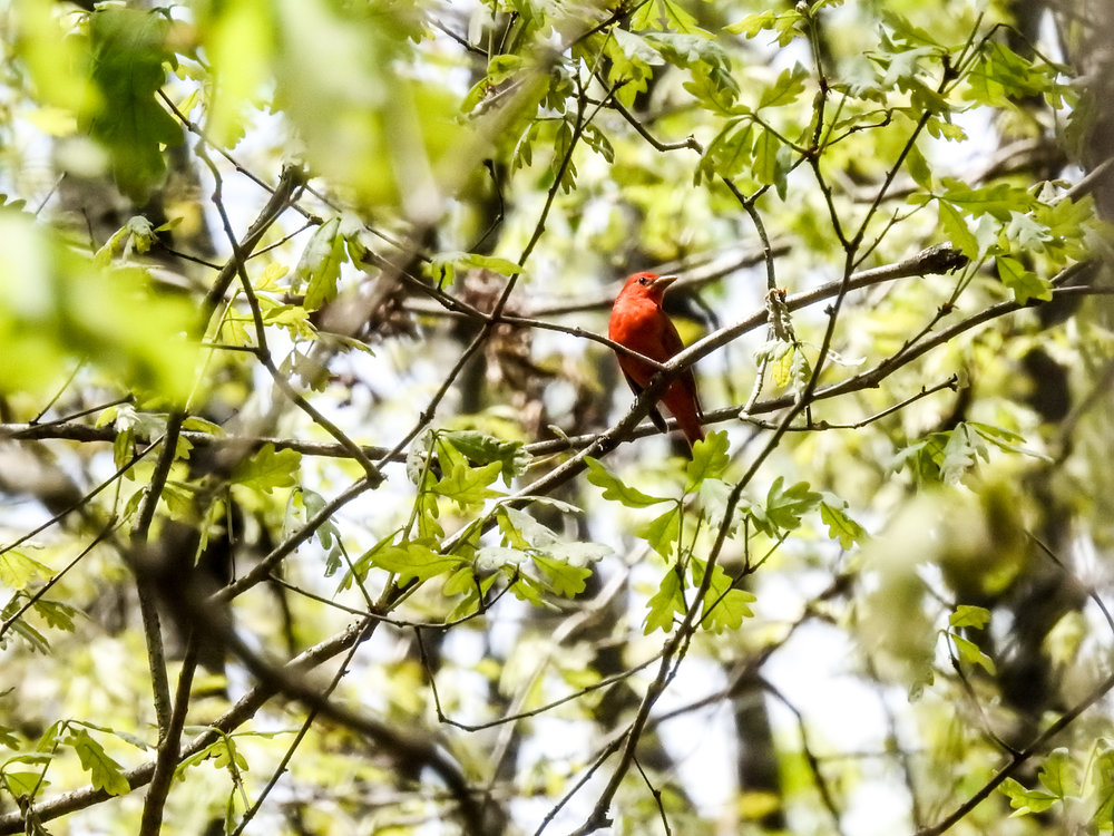 Summer Tanager, April 14, 2018