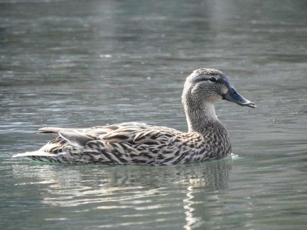 Blue-winged Teal, female