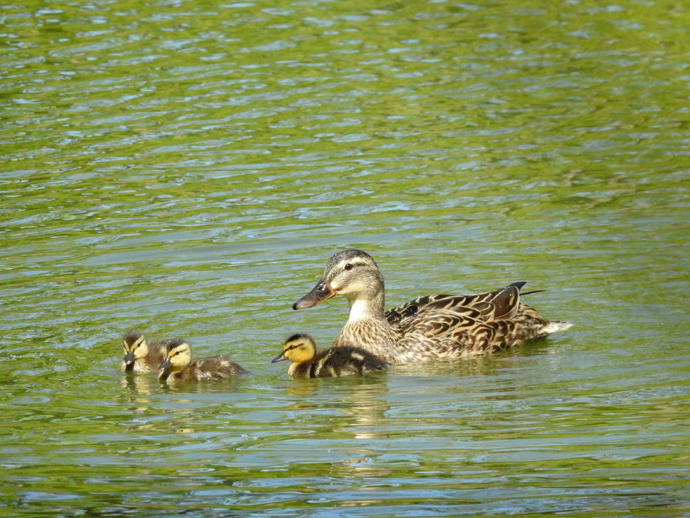 Mallard, female with young
