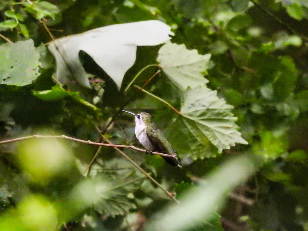 Ruby-throated Hummingbird, female