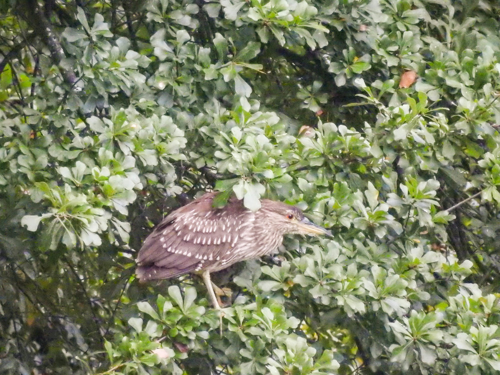 Black-crowned Night-heron, immature