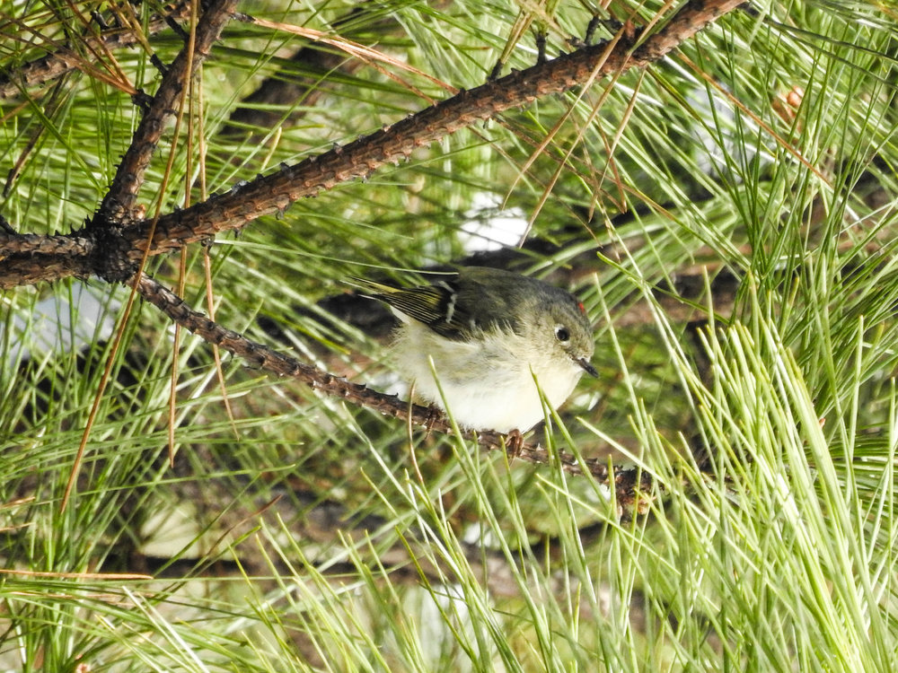 Ruby-crowned Kinglet, male