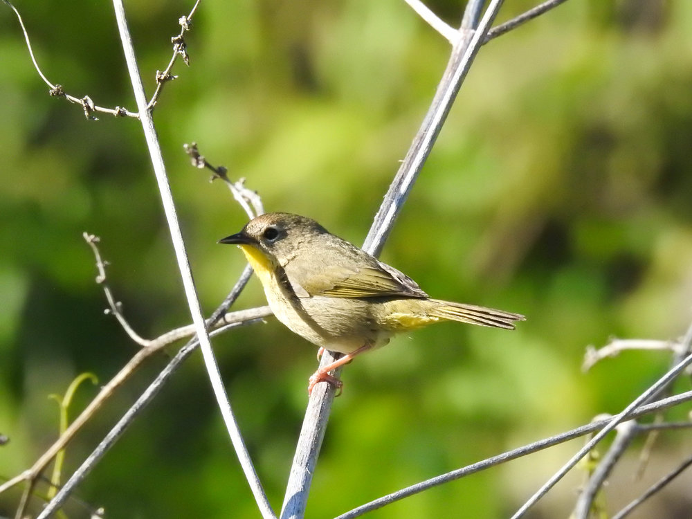 Common Yellowthroat, female