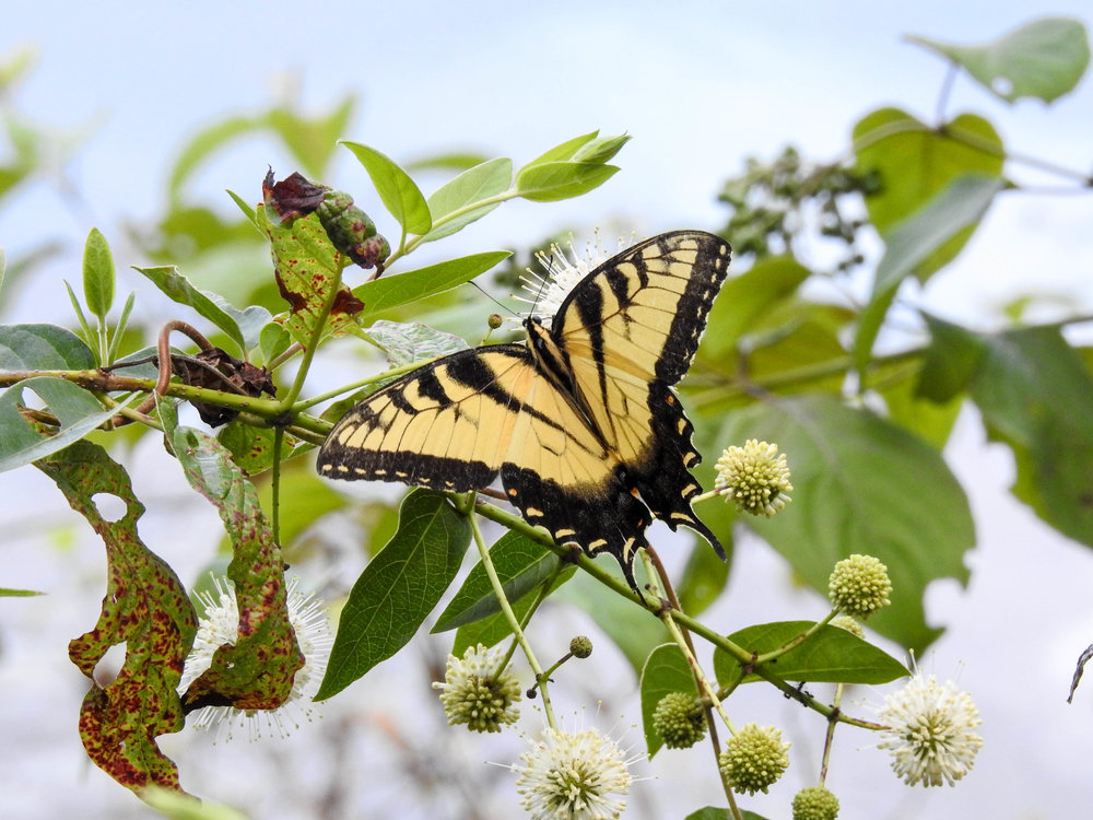 Eastern Tiger Swallowtail, male