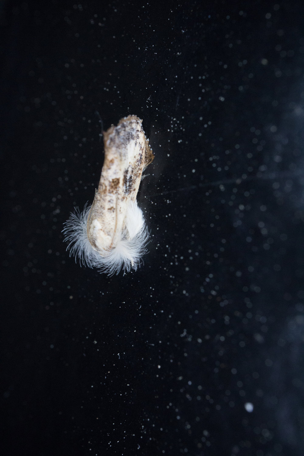 Frilly Grass Tubeworm Moth