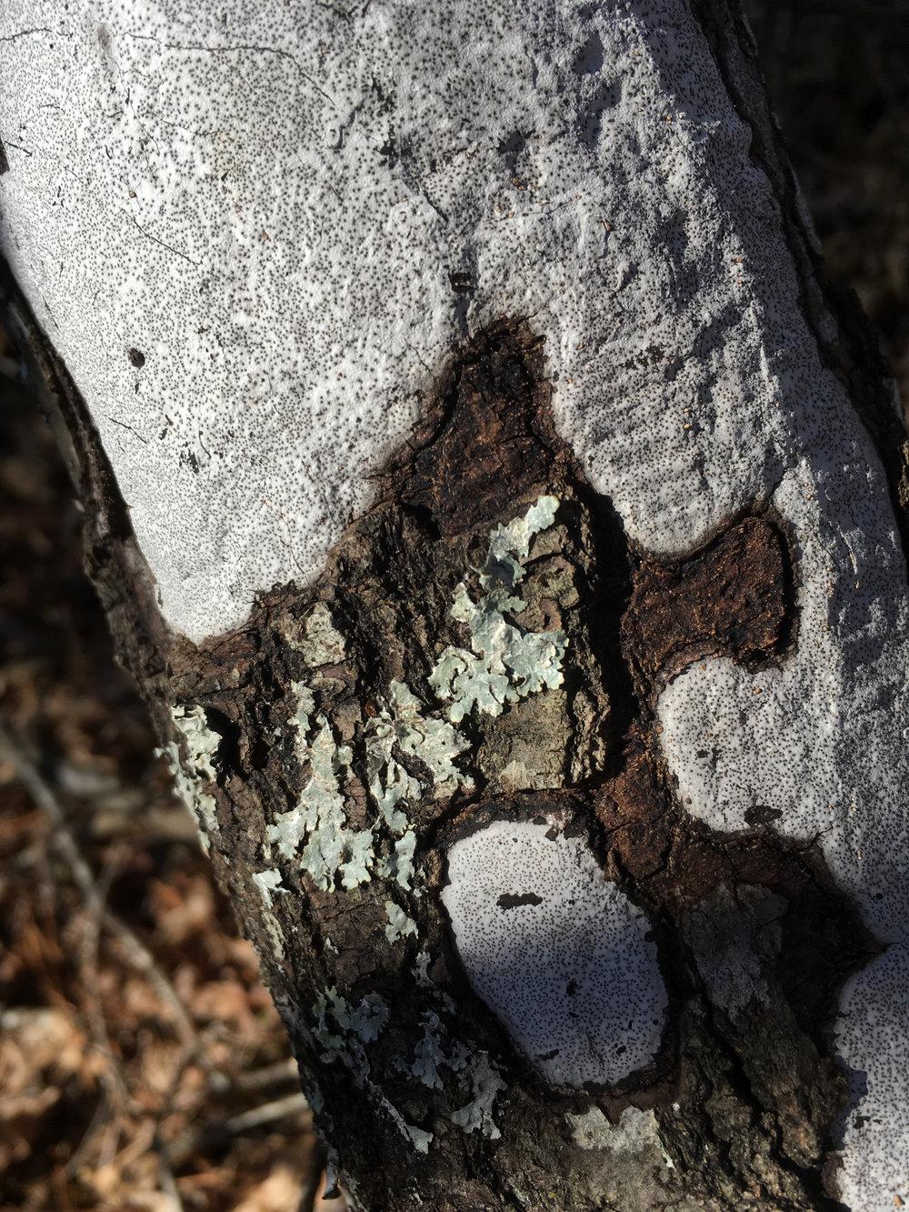 Biscogniauxia atropunctata