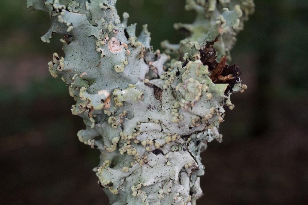 Parmotrema reticulatum