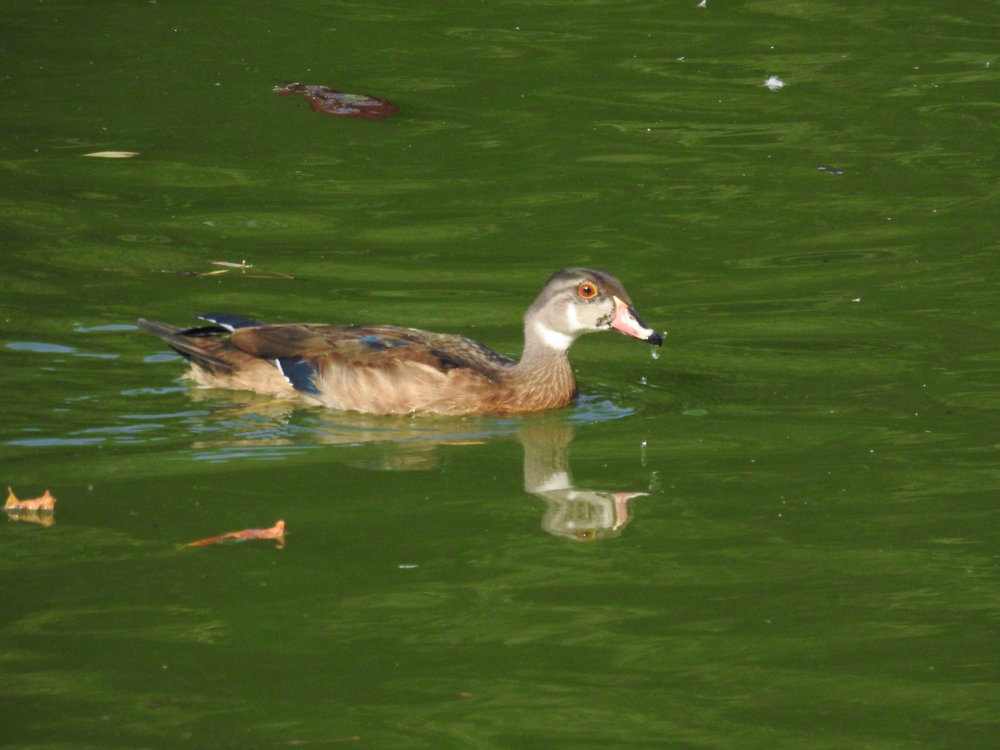 Wood Duck, nonbreeding male