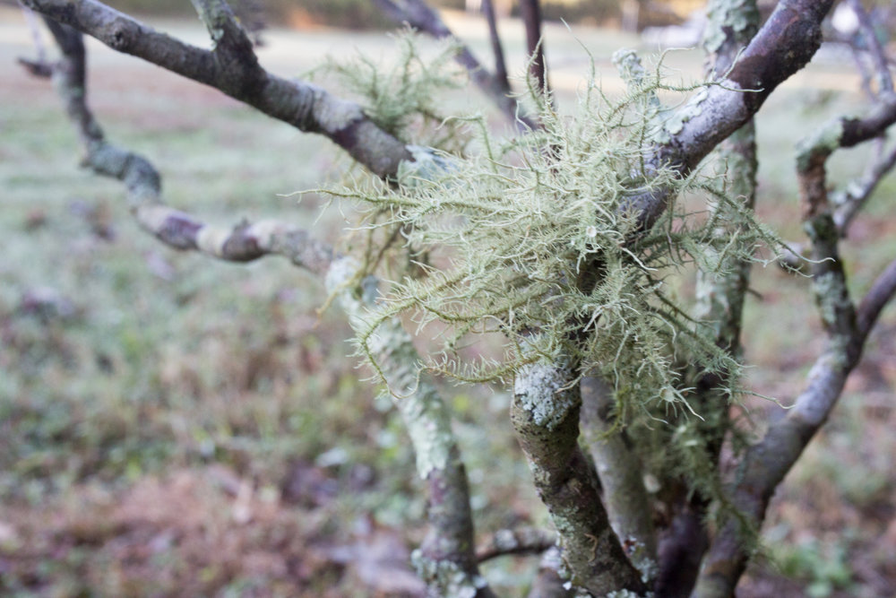 Usnea lichen, October 18, 2018