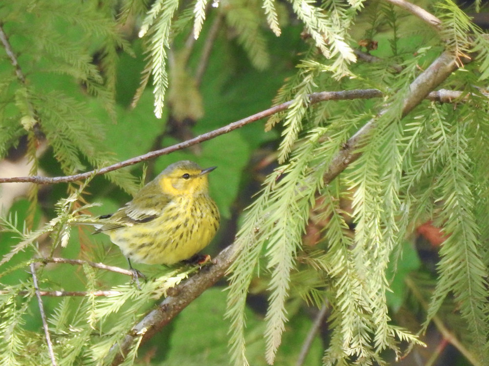 Cape May Warbler, nonbreeding male