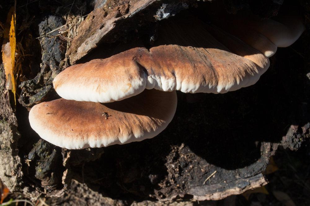 Ischnoderma resinosum