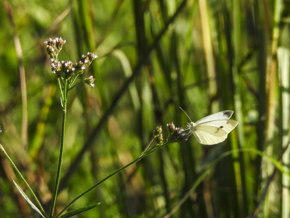 Cabbage White, female (non-native)