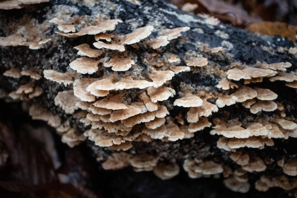 Trichaptum sp.