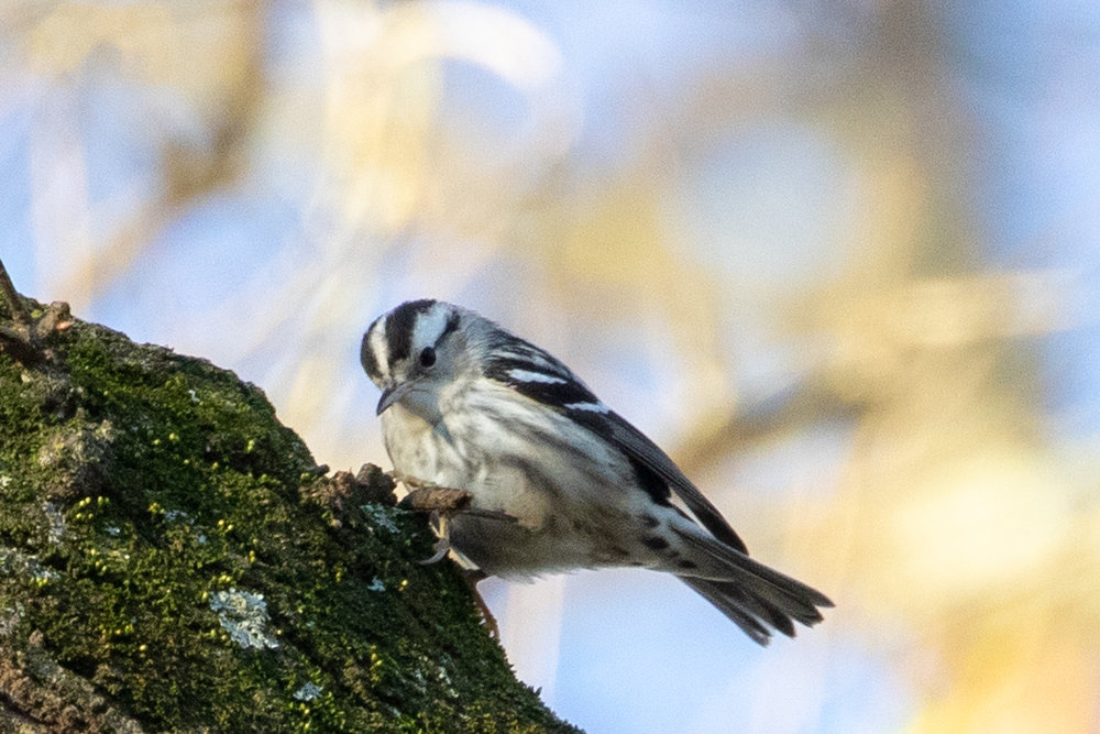 Black-and-white Warbler, female