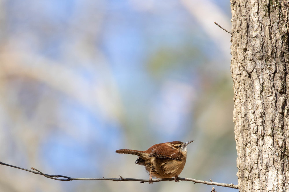 Carolina Wren, January 21, 2019