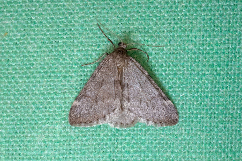 Fall Cankerworm Moth