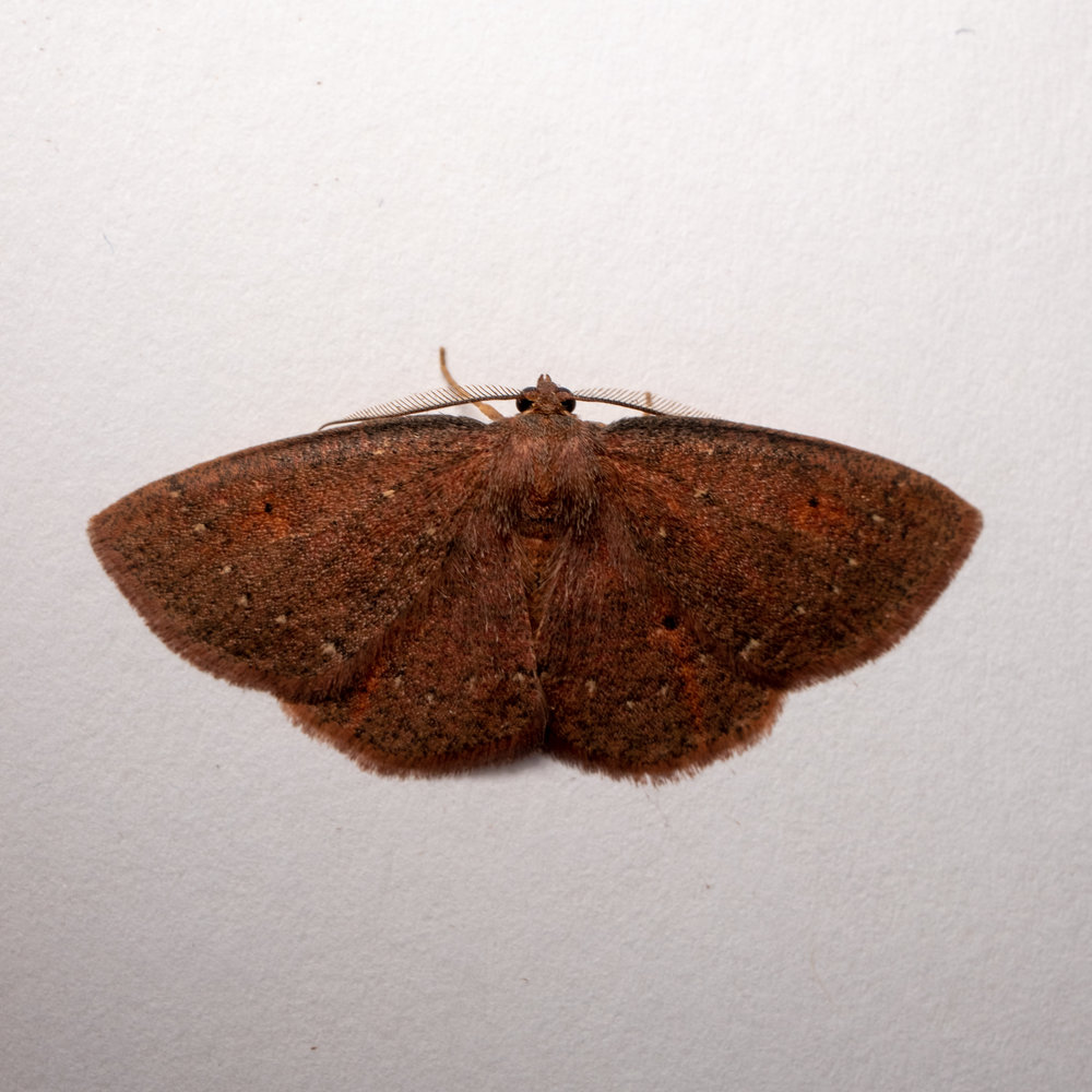 Black-dotted Ruddy