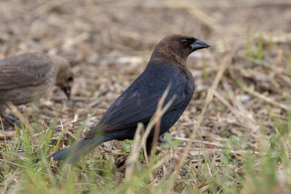 Brown-headed Cowbird, male with female