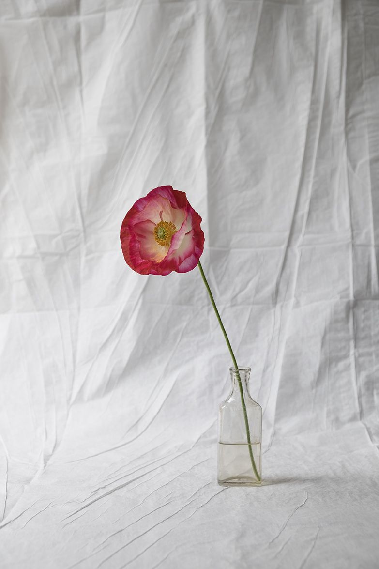 <i>Papaver nudicaule</i>, Lopez Island, Washington, 2017
