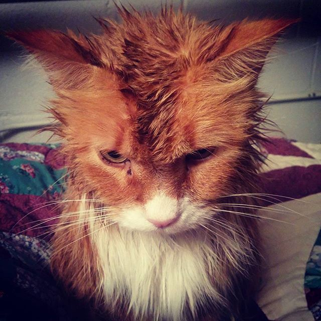 "There's a reason that nobody says ""Happier than a wet cat"" to describe anything good."