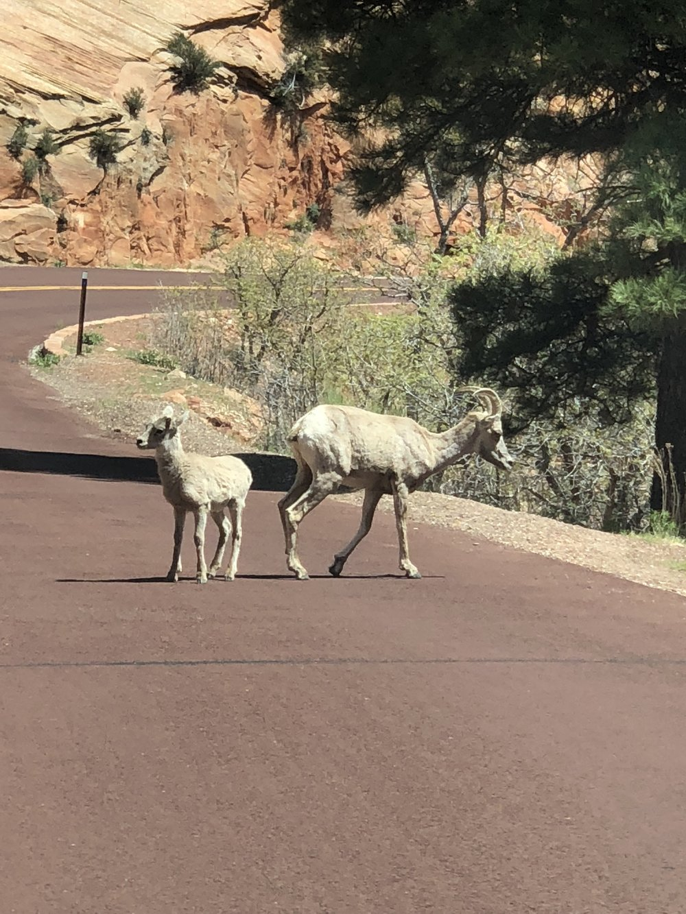 We found some mountain goats driving through Zion!