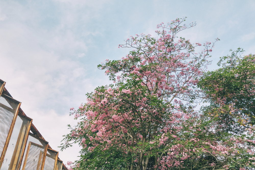 the pink tree.