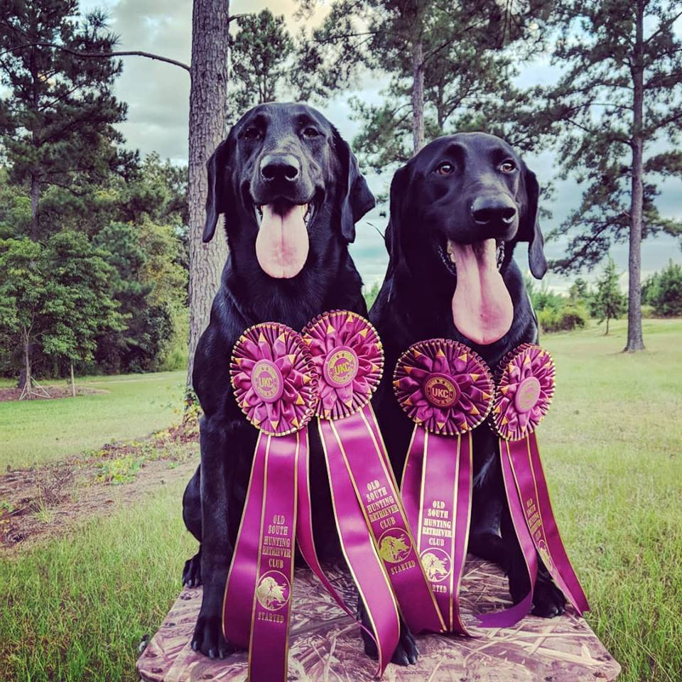 Big Indian's Olivet Dawn /Big Indian's Midnight Maximus - These litter mates from our July 2016 breeding of Jack x Ruby earned their HRC Started title in September at the Etowah HRC in Rome, Ga. Max and Olive will be sharing time on most of our duck hunts this year. We look forward to running them in the Seasoned level tests in the Spring.