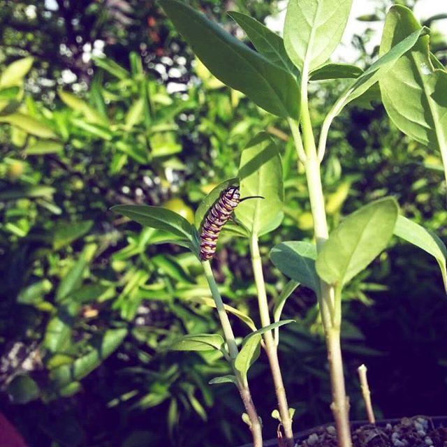 Nuestro vecino José Juan Orozco nos mandó esta foto de una oruga de monarca en sus asclepias. ¡Estamos muy felices de saber que las plantitas que distribuimos ya están recibiendo mariposas! 🌱🐛