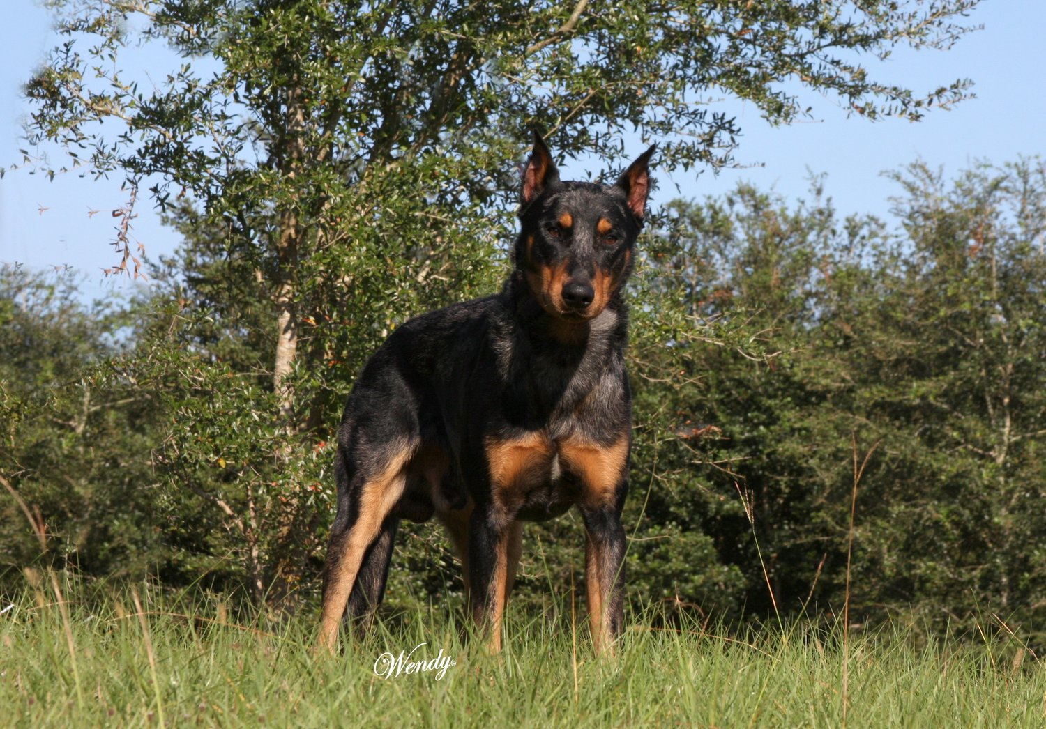 Upcoming Litters Arc Beaucerons