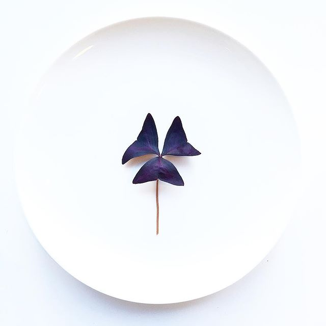 Purple Oxalis. Grown in Manhattan. #chef #cheflfife #minimal #eatmorepurple #purple #plate #nycfood #foodie #foodstagram #foodporn