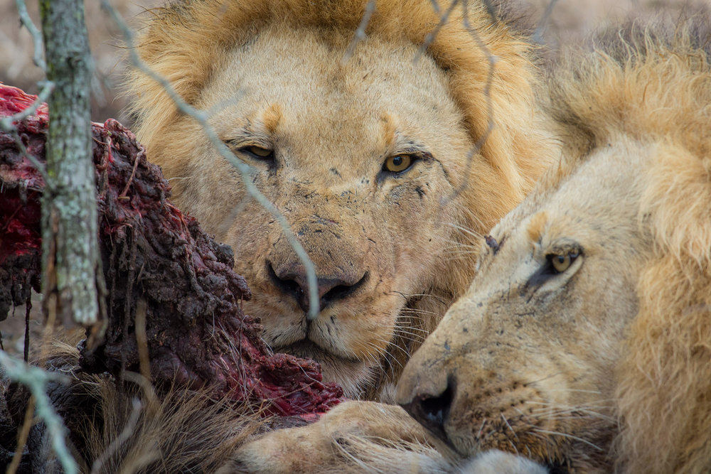 Lion Kill Closeup